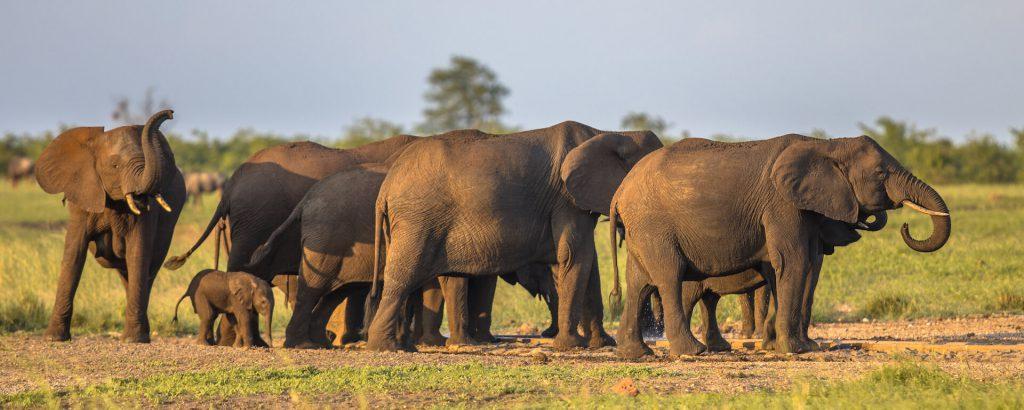 african-elephants-group-ZBKSVFU