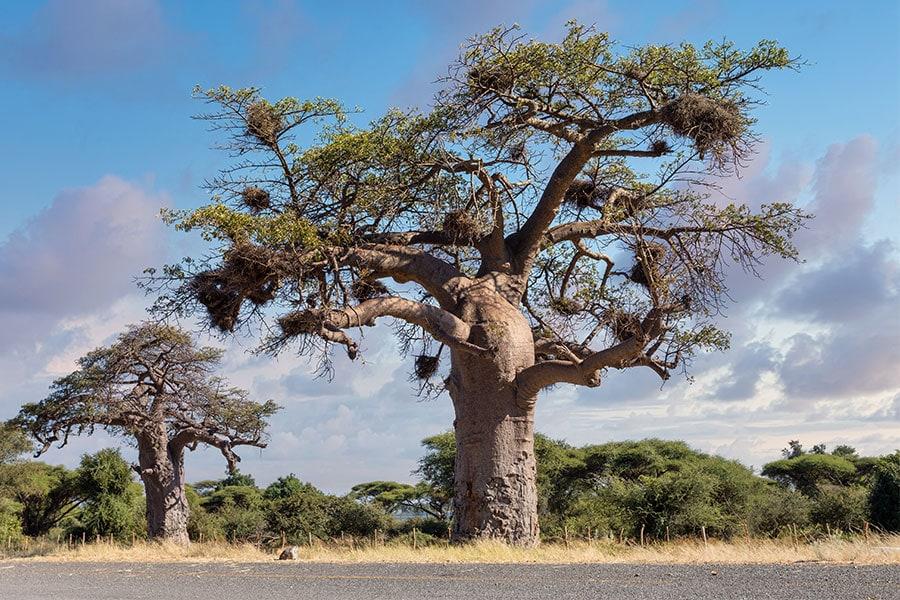 baines-baobab-botswana-nxai-pan-nationalpark