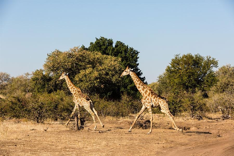 giraffe-botswana-tuli-block