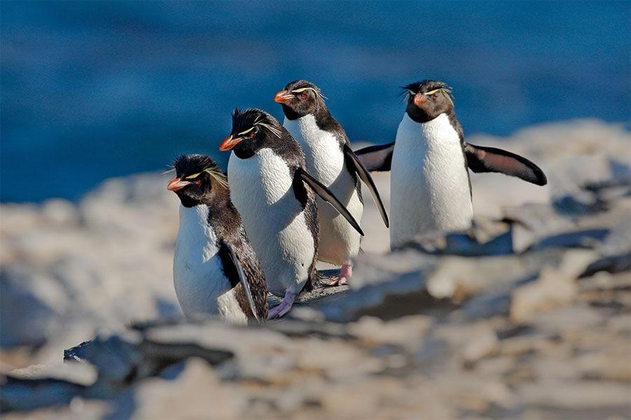 piguine-falklandinseln