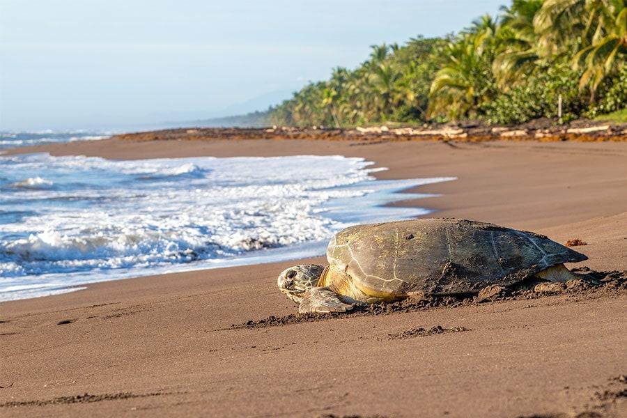 riesenschildkroeten-costa-rica-torguero-beach