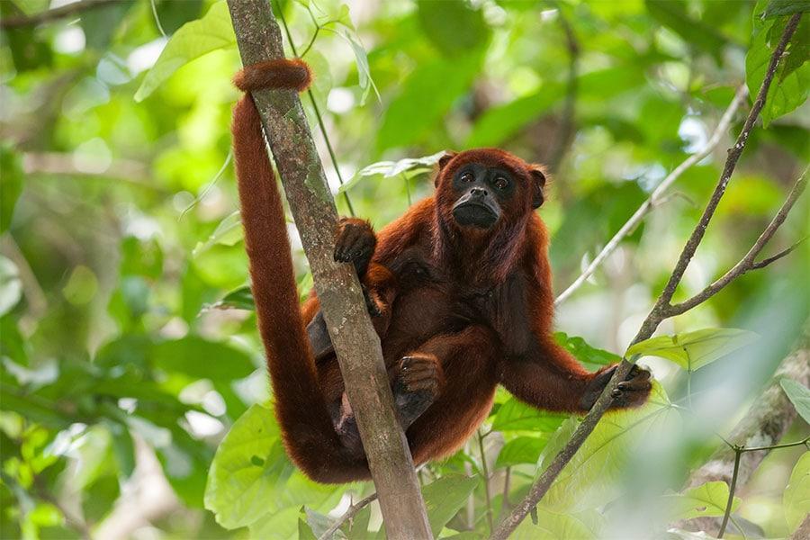 affe-amazonas-regenwald-rundreise