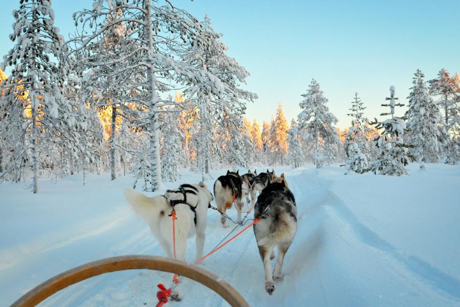 gruppenreise-finnland-schlittenhunde